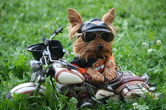 Happy Birthday Momo my love...Biker Rubin your love!!!! (karlaspence35) Tags: dog grass sunglasses bike harley davidson helment rubin