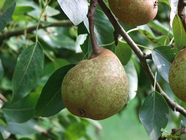 lincs pear