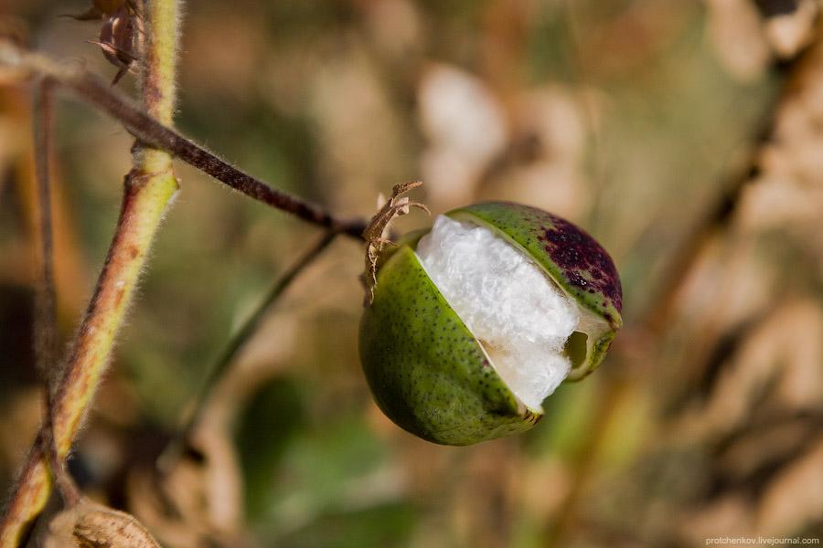 Cotton harvesting