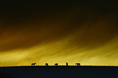 Against a wintry sky (adrians_art) Tags: winter sky horses cloud snow silhouette equine