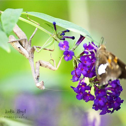 praying-mantis-1