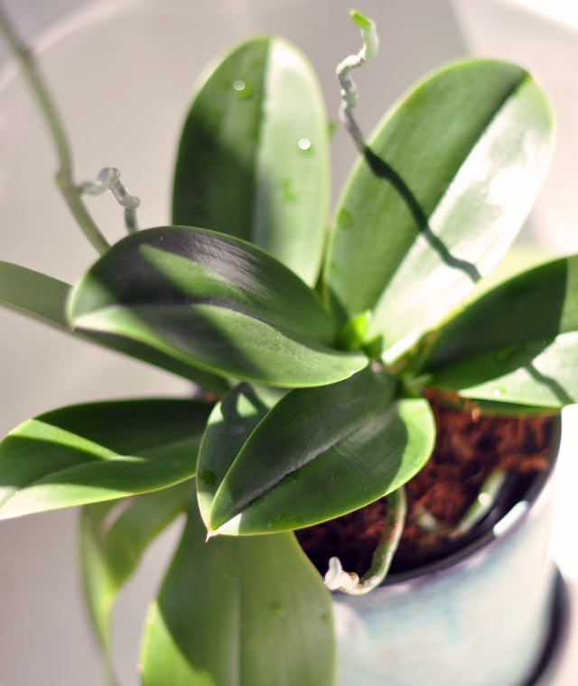 regrowing an orchid