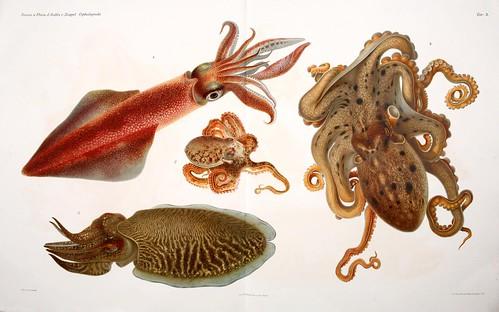 004-I Cefalopodi viventi nel Golfo di Napoli-1896-Giuseppe Jatta