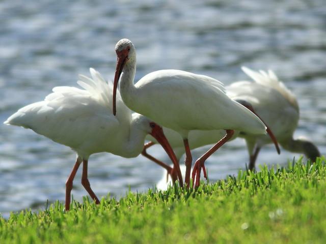 White Ibises 2-20110920