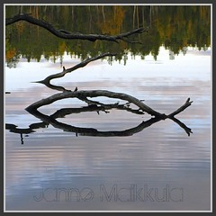 Sininen Siika - Fish Symbol (ikithule) Tags: lake fish reflection nature water finland koivu branch christ symbol branches lapland birch christianity kala vesi syksy luonto atumn jrvi shamandrum heijastus kristus kuvio saarijrvi oksa meltaus koivut symboli kulttuuri riimu shamanismi noitarumpu kristinusko ikithule samanismi naturessymbol lapinrumpu shamaanirmpu samaanirumpu varhaiskristinusko jeesuskristusjumalanpoikapelastaja apuhenki