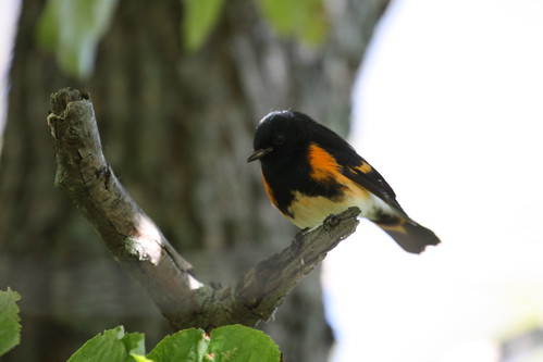 American Redstart by ricmcarthur