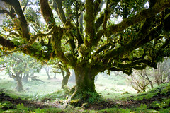 Speak to the old tree! (mari-we) Tags: portugal eos fv10 madeira fanal lorbeer 400d ocoteafoetens impressedbeauty fetidlaurel stinklorbeer