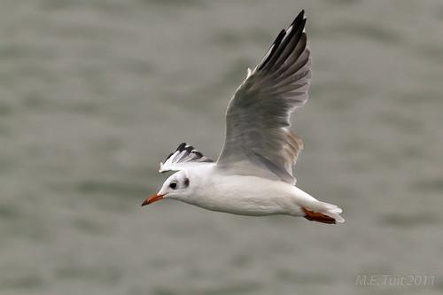 Kokmeeuw / Black headed gull? by Marcel Tuit