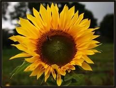 (   flickrsprotte  ) Tags: feld blte sonnenblume ilovenatur surendorf flickrsprotte