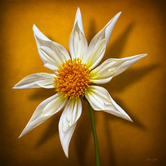 Verrone's Morning Star Dahlia (ChristopherLeeHewitt) Tags: lighting dahlia white flower color macro nature canon square petals flora ngc npc bloom fa excellence excellentsflowers