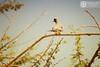 يمام طويل الذنب البالوم (abduleelah.s.klefah) Tags: nikon الله من allah في علي هذا mashallah على الظهر له أنواع شكراً غير d40 ماشاء طويل الخطوط namaqua مزرق البيضاء أو التواصل الحمام بني لمن أصغر أراد المنطقة يلاحظ لون الداكن الإيميل أطراف بدأ الذنب tbark مقيم يمام بقع داكنة جناحه المنقار شائع ولونه أسفل يتميز والإستفسارات qaafdevgmailcom doveالاسم العلميoena capensis، المنطقة، بالذيل الطويل، رمادي، والسوداء وأيضاً ينتشر مؤخراً، ويعتبر ويتكاثر البالوم