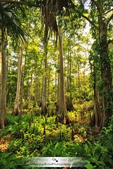 Florida  jungle (Chrissy Avila Photography (cHrIsSy1554)) Tags: beautiful forest landscape photography florida gorgeous floridawildlife fisheatingcreek southfloridawildlife ©csquaredphotography chrissy1554 ©christinaavilaphotography ©chrissyavilaphotography wwwchrissyavilaphotographycom