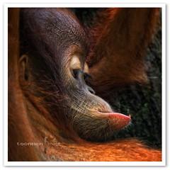 Singapore Zoo - Orang Utan (TOONMAN_blchin) Tags: niceshot orangutan singaporezoo wow1 wow2 wow3 wow4 wow5 wowhalloffame toonman mygearandme mygearandmepremium mygearandmebronze mygearandmesilver mygearandmegold mygearandmeplatinum dblringexcellence