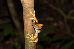 File-eared Tree Frog (vil.sandi) Tags: night rainforest amphibian sarawak malaysia borneo kuching 4september kubahnationalpark borneoearedfrog polypedatesotilophus fileearedtreefrog familyrhacophoridae