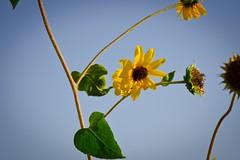 Sunflower (Brett I Matthews) Tags: life blue sky usa plant flower green yellow utah nikon saltlakecity sunflower stick plantlife d7000 nikond7000
