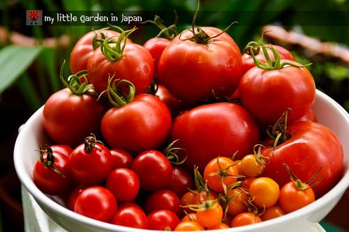 tomato-harvest-4