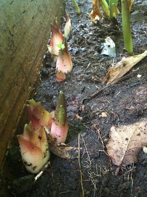 みょうがの栽培方法|種/苗/植え付け/水やり/間引き/収穫・注意点
