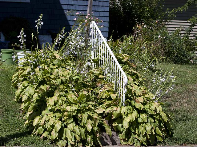 Hosta Covering Steps