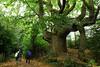 Treemendous (Églantine) Tags: tree wales wow giant jw wonder treasure breconbeacons explore expressive magical arbre tronc magie hfholidays sweetchestnut trunc mfleurangelamothe i500 interestingness134sept252011 explore126july192016