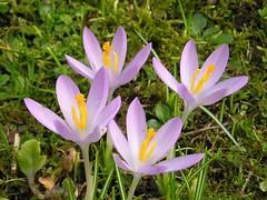 Krokusse (Crocus) (blumenbiene) Tags: flowers plant spring pflanze crocus krokus frühling blüten crocusses krokusse