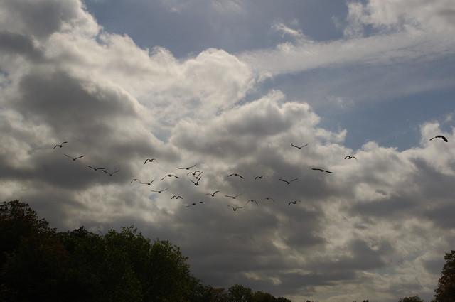Autumn Goose Flight