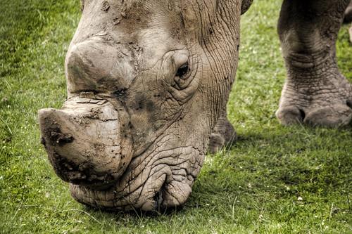 A rhinoceros portrait. Cabárceno. Cantabria. Retrato de un rinoceronte