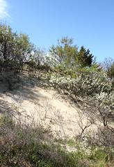 Beach Plum in Bloom on Aeolian Sand (sandy richard) Tags: usa newyork unitedstates geology wildwood calverton wildwoodstatepark newyorkstateparks sandyrichard longislandgeology sandrarichard