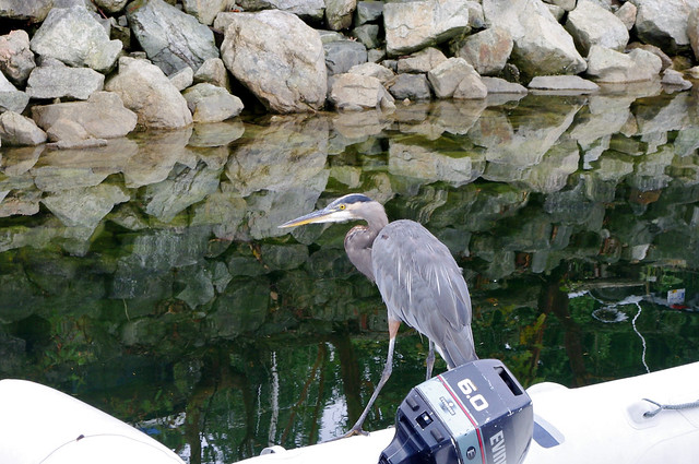 Heron at Snug Cove, Bowen Island