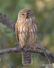 Barking Owl (Ninox connivens) (Origma) Tags: barkingowl ninoxconnivens