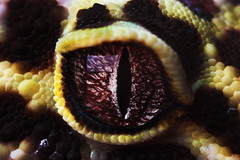 Leo's eyes Close up (SequentialMacro) Tags: macro eye pupil leopardgecko 50mmprime macrolife
