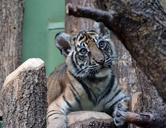 The Tyger (lucano79) Tags: zoo poetry prague tiger praha praga felino poesia tigre tyger cucciolo tigrotta 2562011