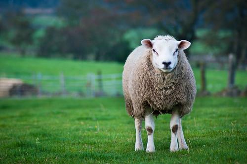 [フリー画像] 動物, 哺乳類, 羊・ヒツジ, 201110050500