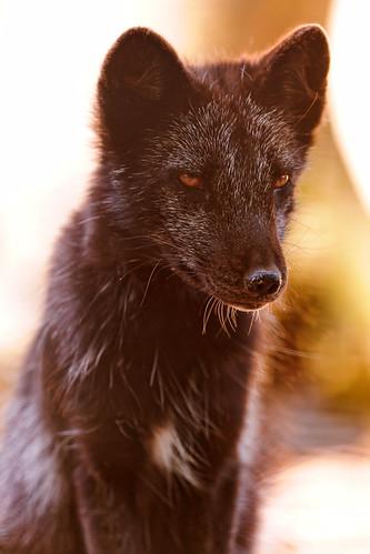 [フリー画像] 動物, 哺乳類, 狐・キツネ, ホッキョクギツネ, 201110041100