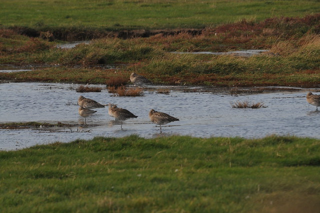 Pecsand, curlew and godwit