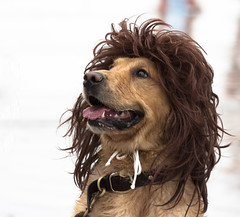 Rocker Dog (San Diego Shooter) Tags: dog dogs sandiego delmar dogincostume surfdogsurfathon rockerdog surfdogsurfathon2011