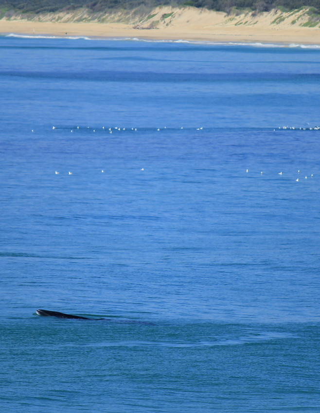 Dwarf Minke Whale (3 more photos below)