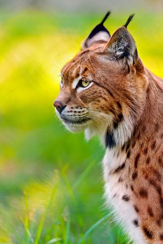 [フリー画像] 動物, 哺乳類, 猫・ネコ, オオヤマネコ, 201110071100