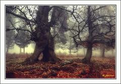 Echando raízes (Julio_Castro) Tags: trees mountain fall field leaves fog hojas nikon arboles nikond70s campo otoño montaña niebla castañar tiemblo olétusfotos