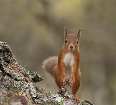 Red Squirrel checking me out (Explored) (Margaret J Walker) Tags: autumn red tree nature pine forest mammal scotland highlands nikon squirrel wildlife aviemore scots cairngorms specanimal specanimalphotooftheday d300s