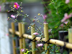 Autumn air in Kyoto (Marie Eve K.A. (away..)) Tags: autumn flower fall nature japan fence kyoto dof bokeh f14 85mm ohara olympuspen planar carlzeiss anemonejaponica anemonehupehensis