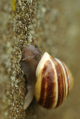 White-lipped banded snail (amylewis.lincs) Tags: uk england macro nature nikon britain wildlife sigma lincolnshire british mollusc invertebrate 180mm 2011 cepaeahortensis d3000