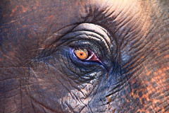 Elephant Eye (Brock Whittaker Photography) Tags: ocean elephant eye animal temple eyes colorful sad bright kerala drop ritual colourful tear teardrop spiritual hindu hindi