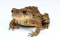 Asiatic Toad (Bufo gargarizans, Bufidae) (John Horstman (itchydogimages, SINOBUG)) Tags: macro toad china itchydogimages herpetology reddit amphibian lightbox top onwhite bufidae