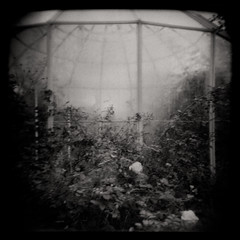 let them roses rest (bildministeriet) Tags: b autumn roses bw 120 fog analog mediumformat dark diy sweden gothenburg greenhouse ilfosol holgan fomapan400 autaut
