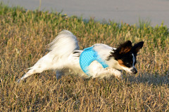 Maxx enjoying his walk (Pappup2010) Tags: dog pet white black cute animal puppy small tan ears canine papillon tricolor pup breed pap toybreed  butterflydog