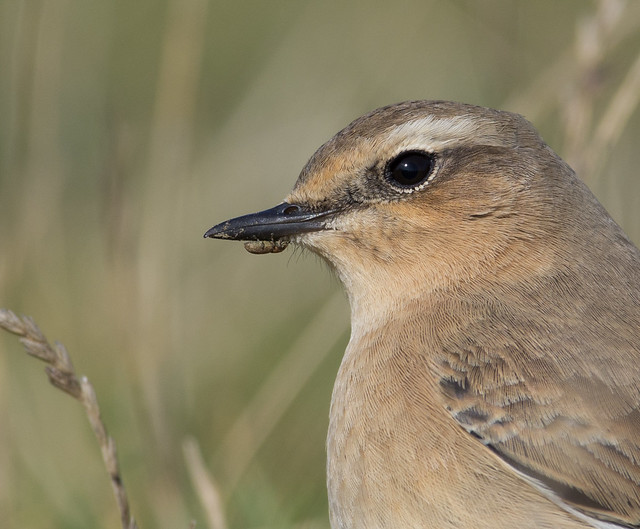 wheatear with weevil on beak afternoon 300mm 5