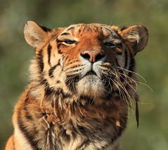 Nina (Mark Butcher) Tags: tiger nina siberian amur southlakeswildanimalpark flickrbigcats highqualityanimals