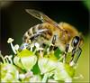 WORKING BEE (Shaun's Wildlife Photography) Tags: macro bees shaund