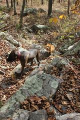 big pocono state park (fiver753) Tags: autumn nature outside outdoors corgi hiking pennsylvania pitbull molly trail poconos ein bigpoconostatepark