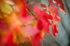 H (Es.mond) Tags: autumn red orange fall leaves yellow fence bokeh vine nikkor hff nikond90 af50mm18 happyfencefriday